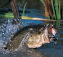 bass in lake and weeds