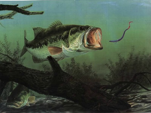largemouth bass eating plastic worm