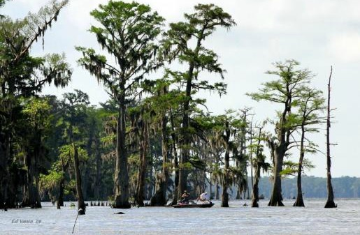 Bass fishing Louisiana swamp